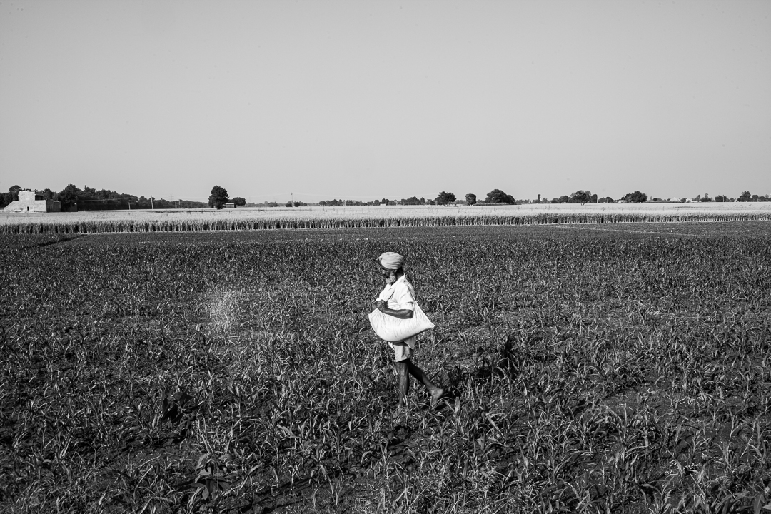 Image in black and white shows a Sikh Panjabi farmer in a field of crops.
